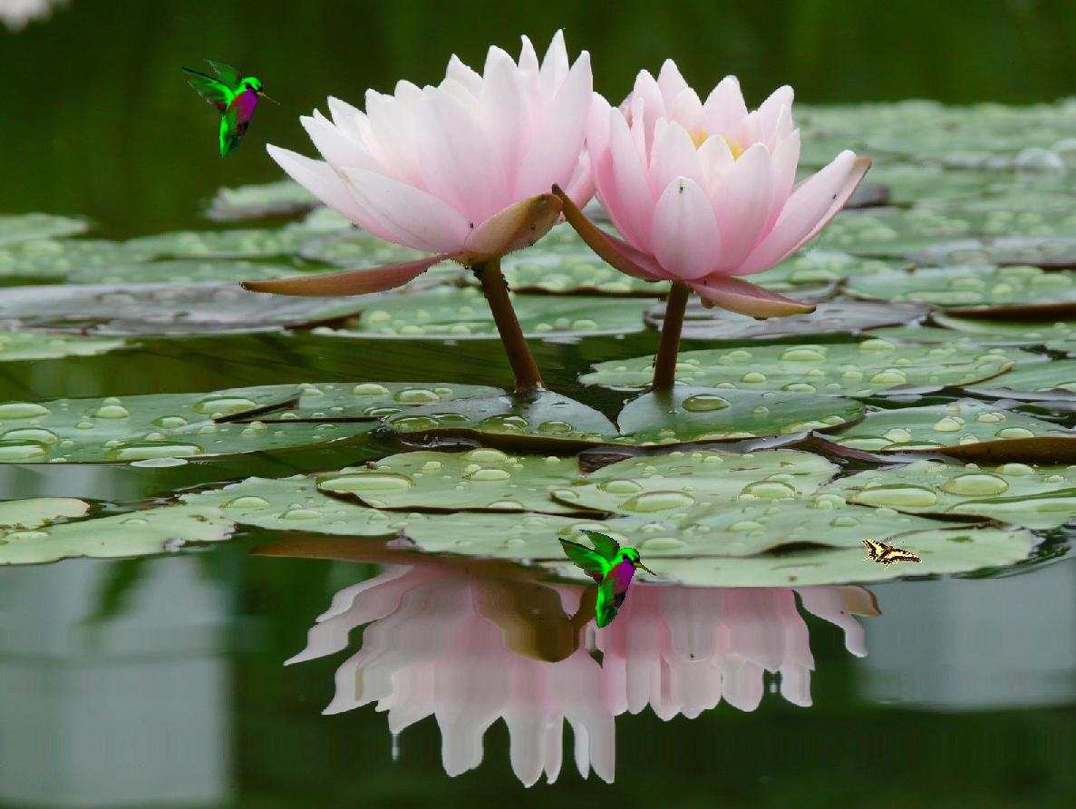 Peaceful Lotus Flower In The Water Screensaver