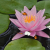 Water Lily Screensaver
